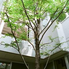 シンボルツリー/中庭 中庭にはシンボルツリーとして背の高い「エ…